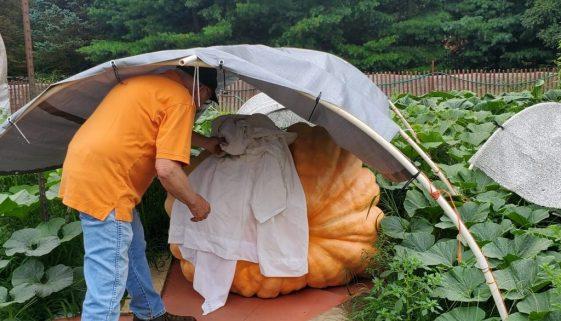 Bob Liggett with his giant pumpkin