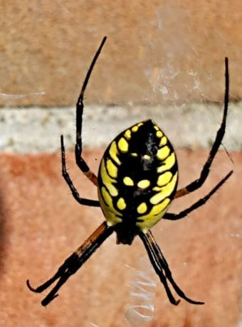 Yellow Field Spider Orb Weaver