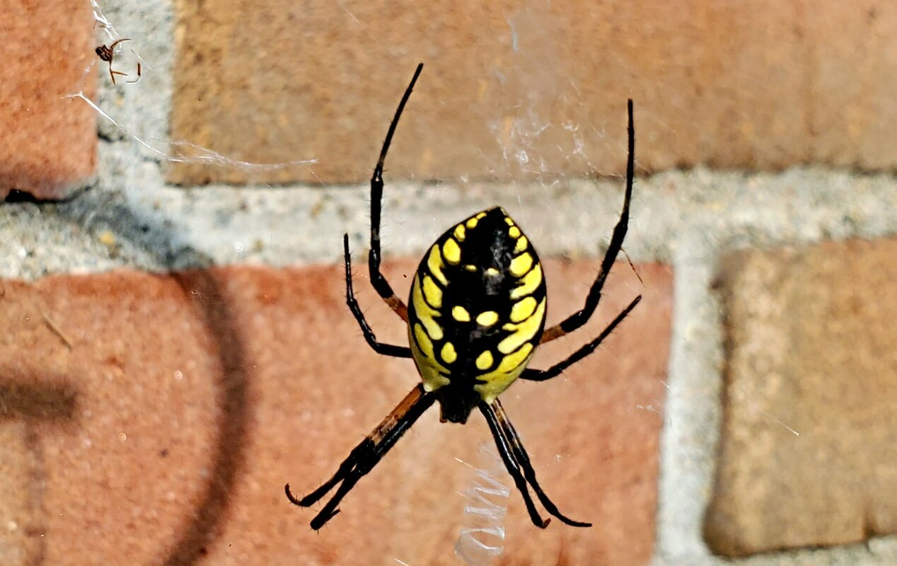 Yellow Field Spider Orb Weaver