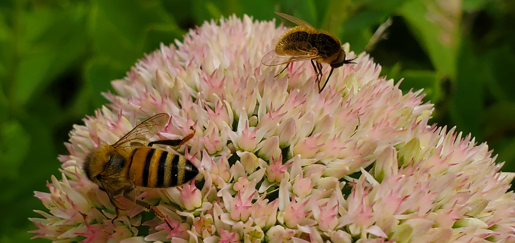 The Greater Bee-Fly