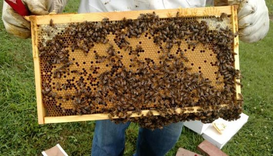 Bees from Colonial Hive and Honey