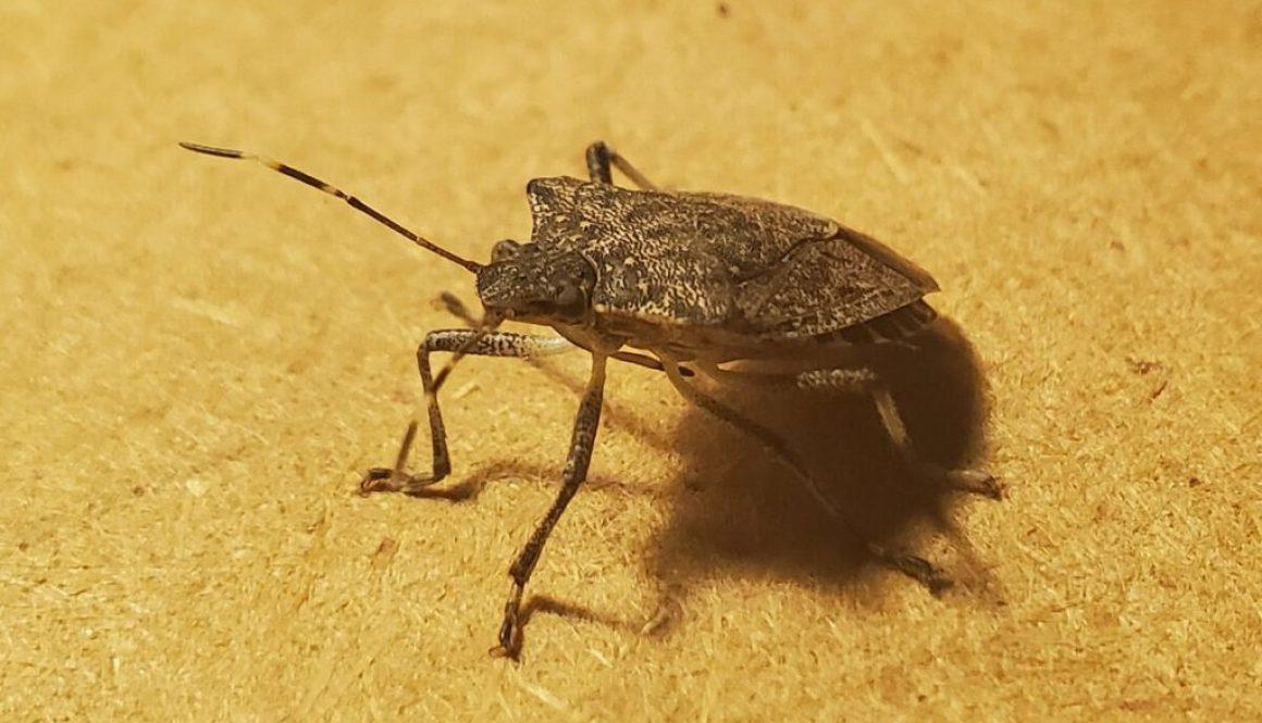 Marmorated stink bug