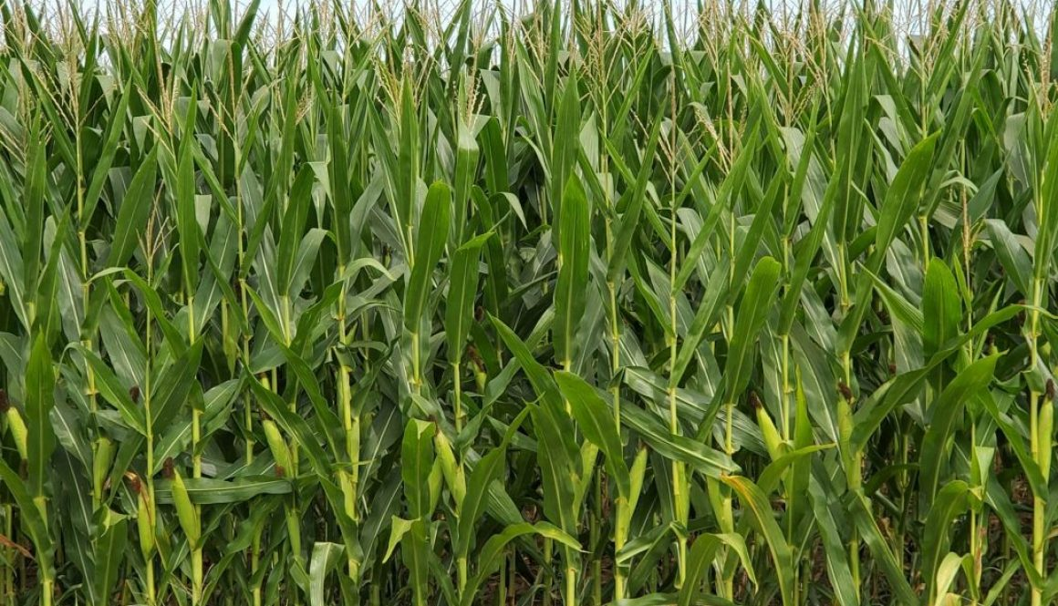 Impact farms can have on local community Corn