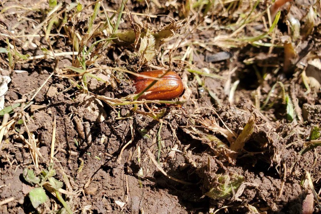 May Beetle (Burrowing, Hiding from Sunlight)
