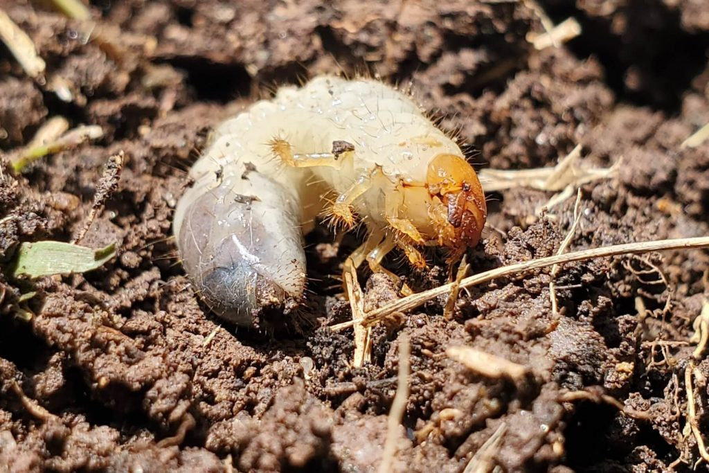 May Beetle (Larval Stage)