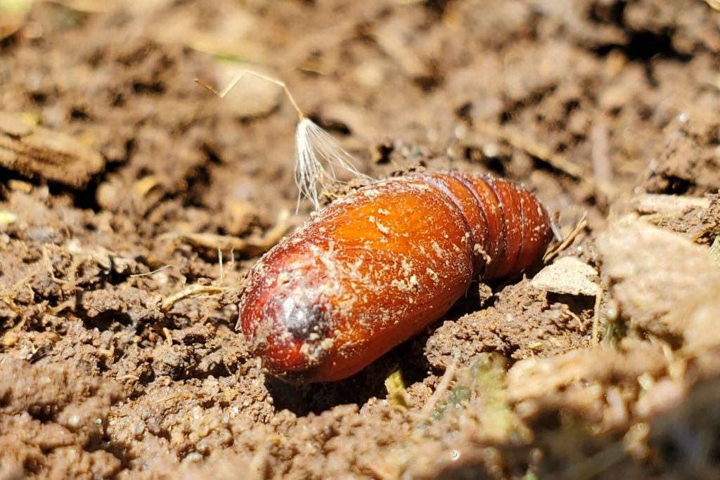 May Beetle (Pupating Stage)