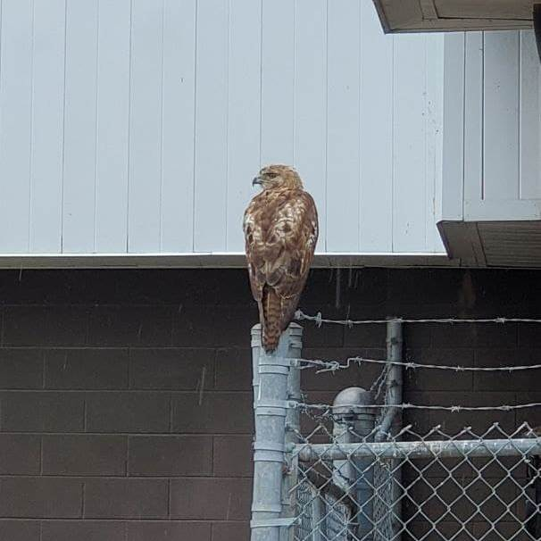 Red-Tailed Hawl perched on pole at former RCA Building in Circleville, Ohio