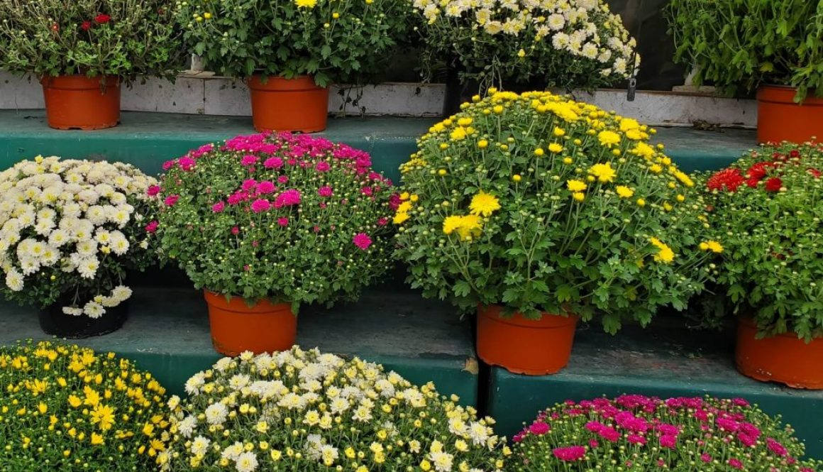 9 Ways to prepare your garden for end of summer mums